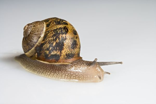 BB-1567 Common garden snail - white background Bedfordshire UK Helix aspersa Brian Bevan Please note that prints are for personal display purposes only and may not be reproduced in any way