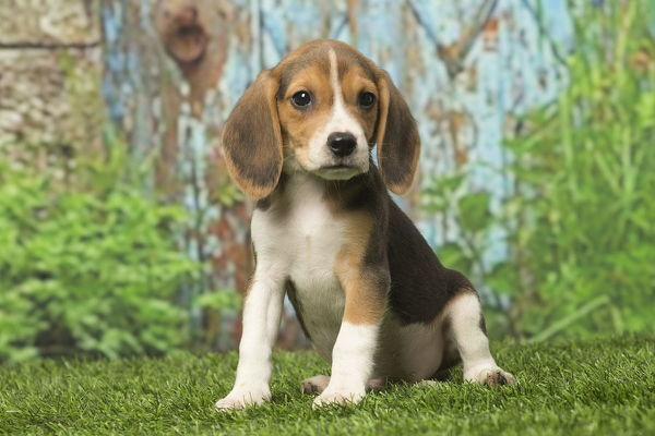 beagle puppy dog outdoors date photo prints 15299184 from ardea