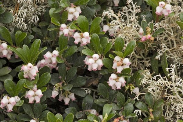 ROG-12500 Bearberry - in flower Sweden Arctostaphylos uva-ursi Bob Gibbons Please note that prints are for personal display purposes only and may not be reproduced in any way