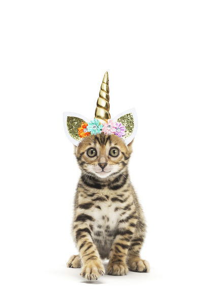 Bengal Cat, kitten wearing Unicorn headband