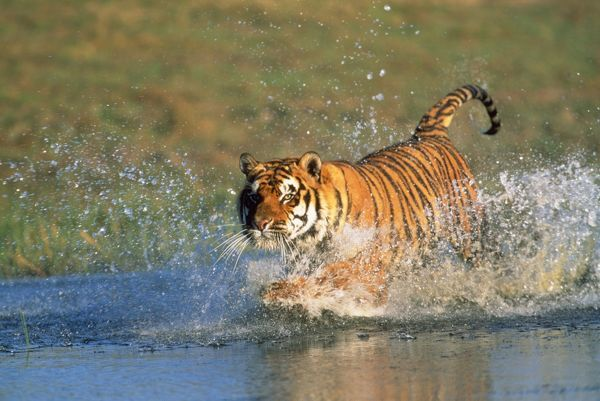 FG-dg-928 Bengal / Indian TIGER - running through water Panthera tigris tigris Francois Gohier Please note that prints are for personal display purposes only and may not be reproduced in any way
