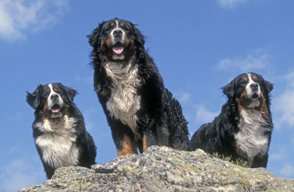 LA-1388 Bernese Mountains Dogs - 3 together standing on rock Jean Michel Labat Please note that prints are for personal display purposes only and may not be reproduced in any way