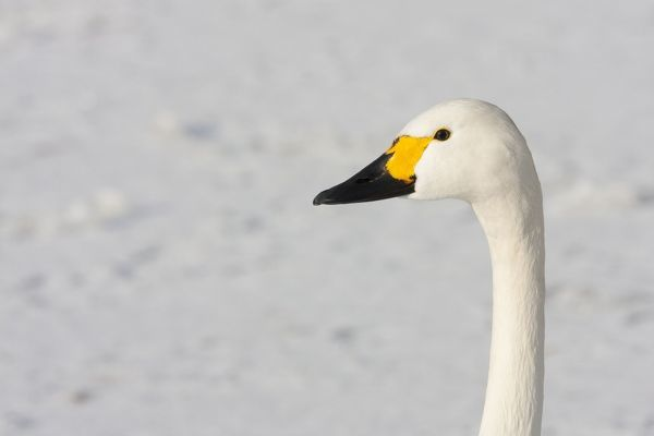 DK-221 Bewick's Swan - Close up portrait of head and neck against snow England, UK Cygnus columbianus David Kilbey Please note that prints are for personal display purposes only and may not be reproduced in any way