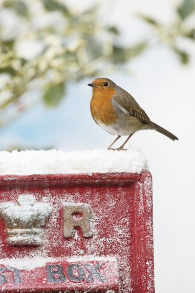 BIRD. Robin on old red letterbox in snow Date