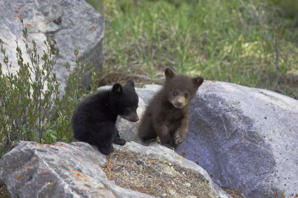 COS-2921 Black Bear - two cubs playing on rocks - one black one cinnamon  Canadian Rocky Mountains - Alberta - Canada Ursus americanus cinnamomum Bill Coster Please note that prints are for personal display purposes only and may not be reproduced