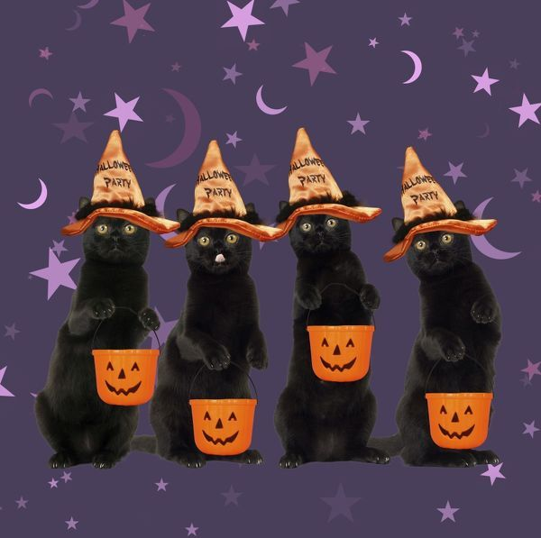Black Cats, wearing halloween witches hat carrying halloween bucket Digital manipulation Date