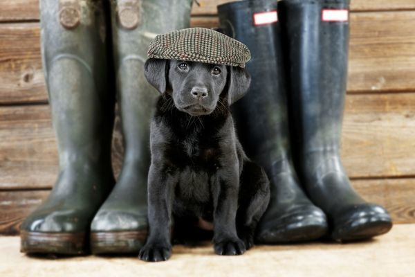 DOG Black Labrador puppy wearing flat cap ( 6 weeks old ) with wellington boots