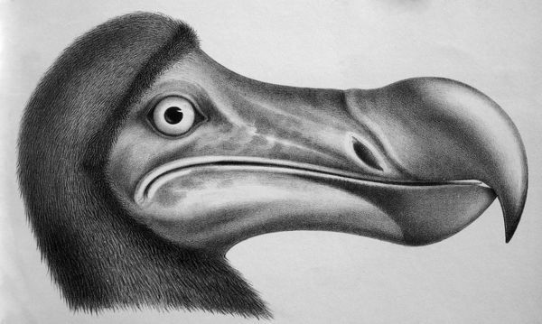 PM-9675 Black & White Illustration: Dodo - from Strickland 1848 Extinct Didus ineptus Mascarenes, Flightless birds Pat Morris Please note that prints are for personal display purposes only and may not be reproduced in any way. contact details: prints@ardea