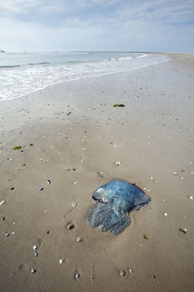 USH-4536 Blue Jellyfish - stranded on beach Texel Island - Holland Cyanea lamarckii Duncan Usher Please note that prints are for personal display purposes only and may not be reproduced in any way