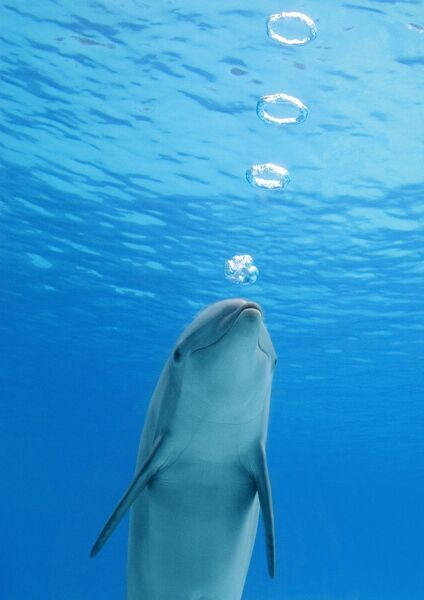 Bottlenose dolphin - blowing air rings underwater