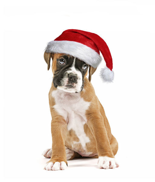 Boxer Dog, puppy wearing Christmas hat