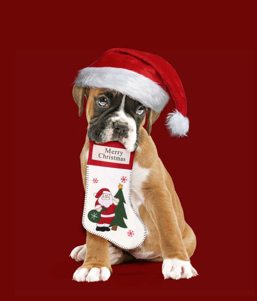 Boxer Dog, puppy wearing Christmas hat holding