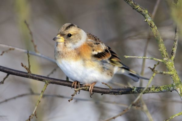 USH-4462 Brambling - in winter plumage Hessen - Germany Fringilla montifringilla Duncan Usher Please note that prints are for personal display purposes only and may not be reproduced in any way