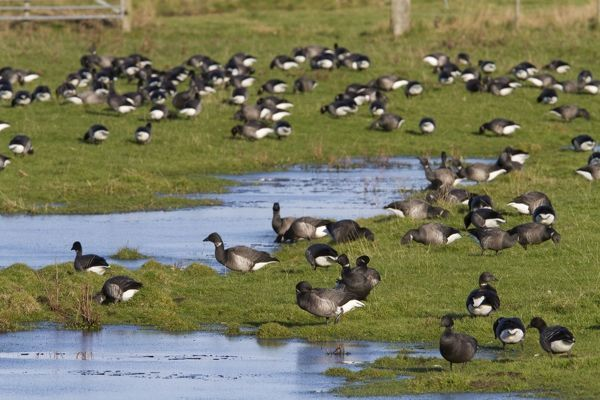 DK-262 Brent Goose - Large flock of geese grazing on flooded grassland next to the coast Norfolk, UK Branta bernicla David Kilbey Please note that prints are for personal display purposes only and may not be reproduced in any way
