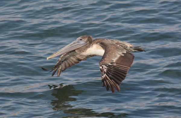 JZ-3698 Brown Pelican - in flight over water West Coast Mexico in March. Pelecanus occidentalis Jim Zipp Please note that prints are for personal display purposes only and may not be reproduced in any way