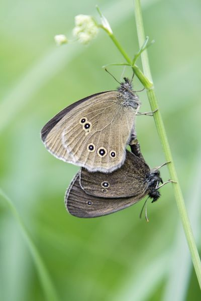 USH-4349 Butterfly, Ringlet - pair mating, perched on grass stalk Lower Saxony, Germany Aphantopus hyperantus Duncan Usher Please note that prints are for personal display purposes only and may not be reproduced in anyway