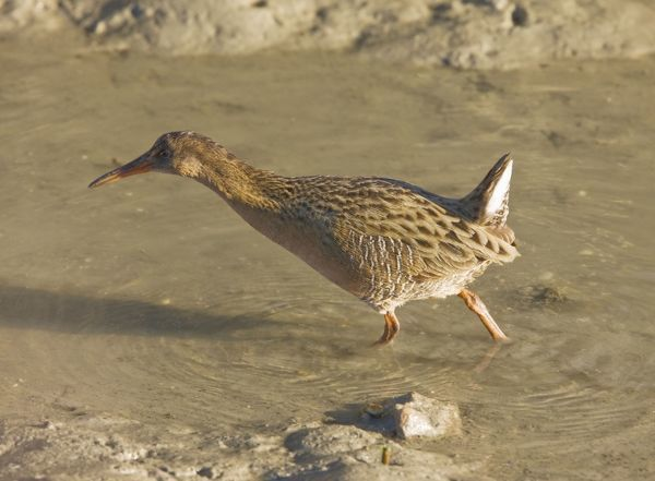 ROG-13853 Californian Clapper Rail  San Francisco Bay - California, United States Rallus longirostris obsoletus Bob Gibbons Please note that prints are for personal display purposes only and may not be reproduced in any way