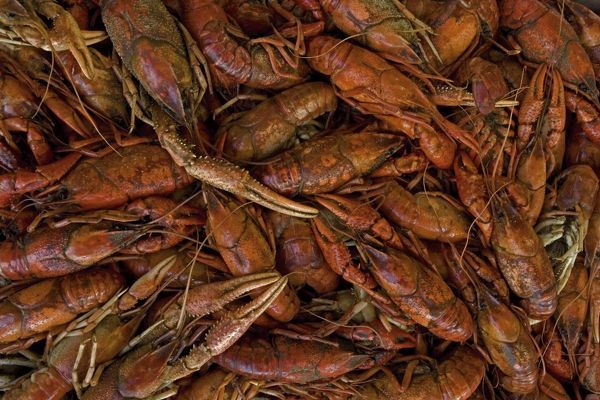 CAN-3231 Louisiana Crayfish / Crawfish - widely harvested for food Louisiana, USA Procambarus clarkii John Cancalosi Please note that prints are for personal display purposes only and may not be reproduced in any way