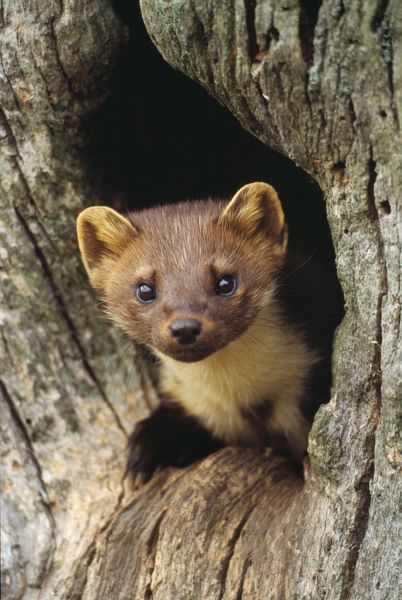 CAN-933 PINE MARTEN - in hole in tree UK Martes martes John Cancalosi Please note that prints are for personal display purposes only and may not be reproduced in any way