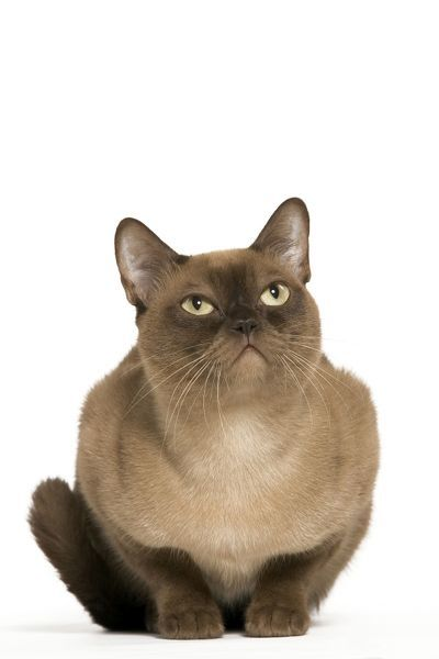 LA-1874 Cat - American Burmese Chocolate Jean Michel Labat Please note that prints are for personal display purposes only and may not be reproduced in any way