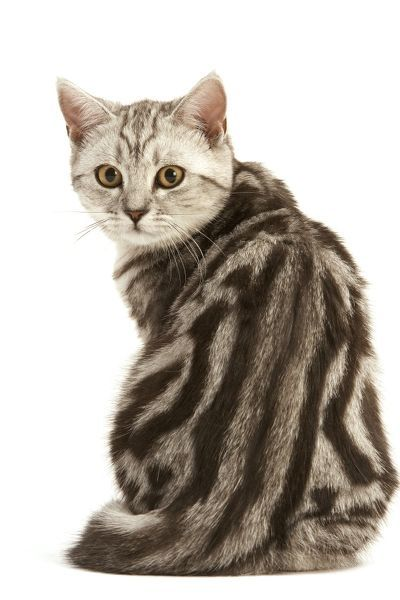 LA-1867 Cat - British Short-haired, Black Silver Tabby Blotched Showing pronounced back markings Jean Michel Labat Please note that prints are for personal display purposes only and may not be reproduced in any way