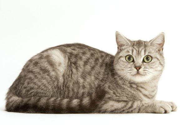 LA-1866 Cat - British Shorthair, Black Silver Blotched Tabby Jean Michel Labat Please note that prints are for personal display purposes only and may not be reproduced in any way