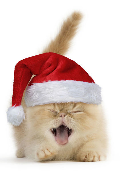 Cat, Exotic Shorthair kitten, smiling and laughing wearing a Christmas hat Digital manipulation Date