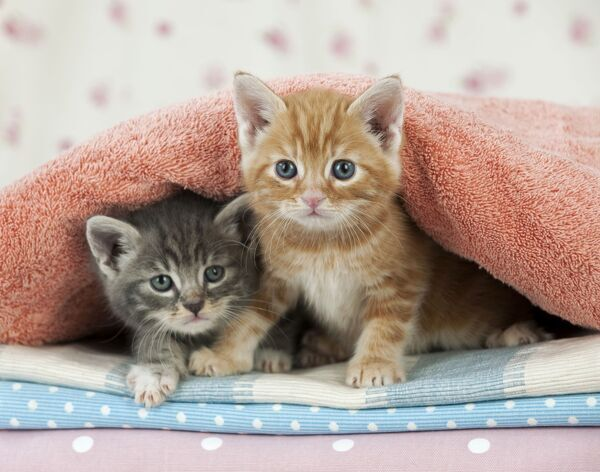 Cat - Ginger and Grey Tabby kittens
