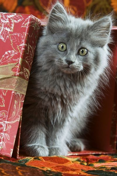 Cat Grey Kitten By Present 1453211 Framed Prints Wall Art Posters