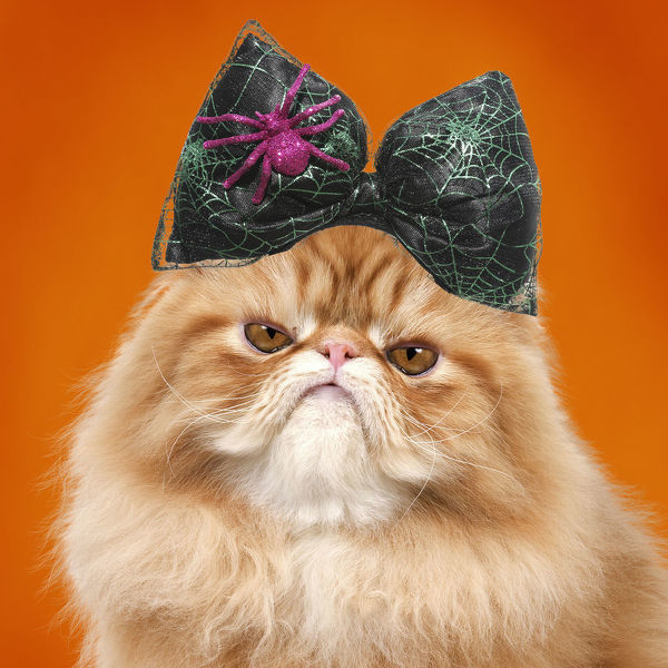 Cat - grumpy Red Persian wearing Halloween bow Date