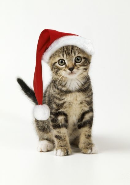 JD-13392-m Cat - kitten in christmas hat John Daniels Please note that prints are for personal display purposes only and may not be reproduced in any way