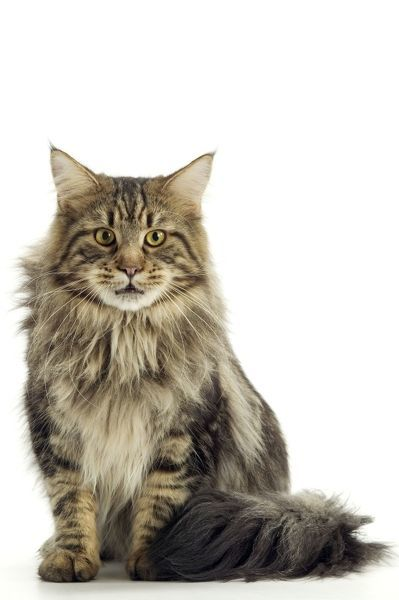 LA-1436 Cat - Maine Coon Cat sitting down Jean Michel Labat Please note that prints are for personal display purposes only and may not be reproduced in any way