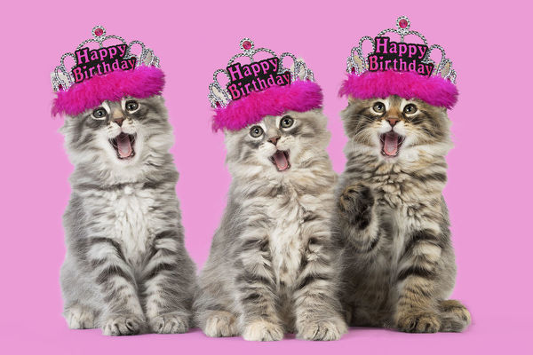 Cat - Norwegian Forest Cat wearing Happy Birthday tiaras, mouths open singing Digital manipulation Date