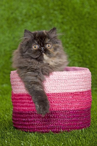 LA-6346 Cat - Persian kitten in pink basket Jean-Michel Labat Please note that prints are for personal display purposes only and may not be reproduced in any way