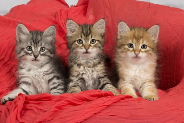 Cat Siberian kittens in red cloth Date #10485976 Framed Prints