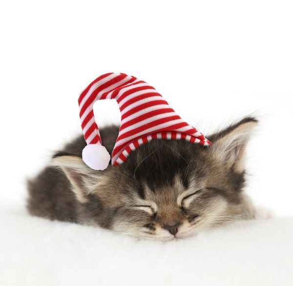 CAT. Somali x Tabby. kitten about 5 weeks old with Christmas hat. Digital Manipulation. Date