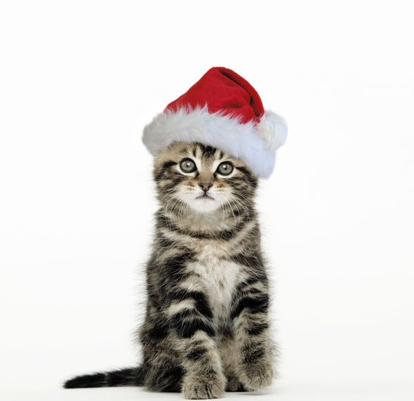 LA-1311-m Cat - Tabby kitten sitting down wearing Christmas hat Jean Michel Labat Please note that prints are for personal display purposes only and may not be reproduced in any way
