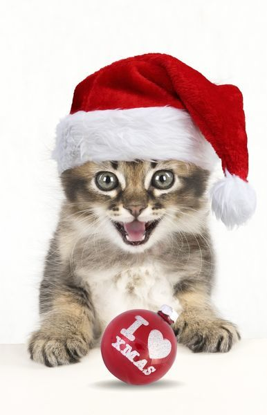Cat Tabby kitten wearing Christmas hat about 7 weeks old paws on table looking at the camera with I love Xmas Christmas bauble Digital Manipulation Cat Tabby kitten wearing Christmas hat about 7 weeks old paws on table looking at the camera