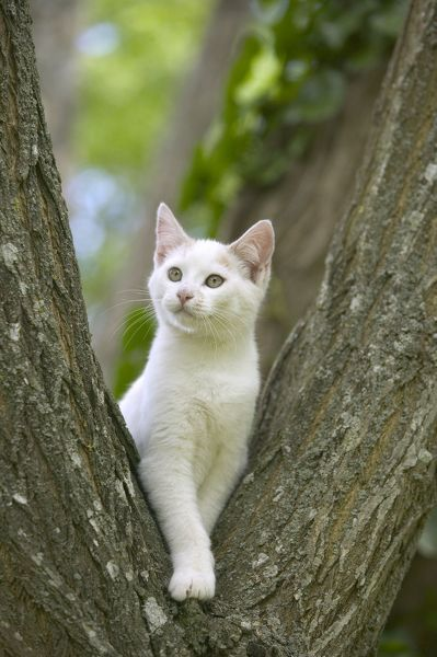 LA-1462 Cat - White cat in tree fork Jean Michel Labat Please note that prints are for personal display purposes only and may not be reproduced in any way