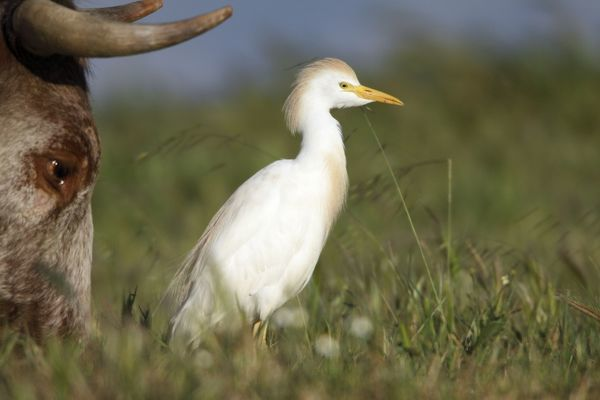 USH-4252 Cattle Egret - foraging for insects beside cow Herdade de Sao Marcos Great Bustard Reseve and NP, beside township Castro Verde, Alentejo, Portugal Bulbulcus ibis Duncan Usher Please note that prints are for personal display purposes only