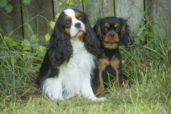 Cavalier King Charles Spaniel Dog and puppy outdoors