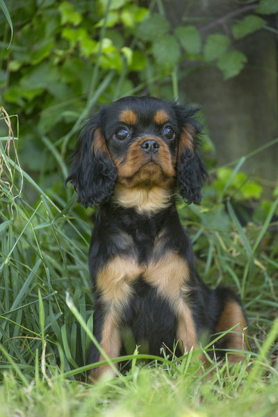 Cavalier King Charles Spaniel puppy outdoors