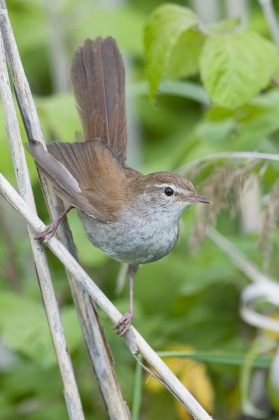 RD-28 Cetti's Warbler Cettia cetti Giacomo Radi Please note that prints are for personal display purposes only and may not be reproduced in any way