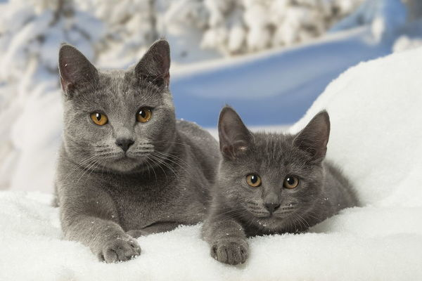 Chartreux cats in winter snow Date