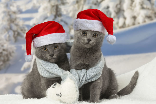 Two Chartreux kittens in winter snow wearing a scarf and Christmas hat Digital manipulation Date