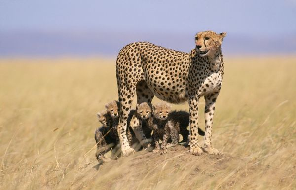 RS-167 CHEETAH - with four 6 week-old cubs endangered species. Serengeti National Park, Tanzania, Africa Acinonyx jubatus Robyn Stewart Please note that prints are for personal display purposes only and may not be reproduced in any way