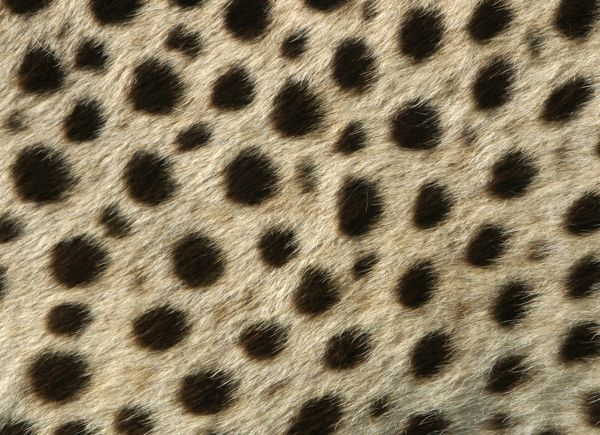 WAT-9581 Cheetah - close-up of fur / coat, showing spot pattern Cape Province. South Africa. Africa Acinonyx jubatus M. Watson Please note that prints are for personal display purposes only and may not be reproduced in any way