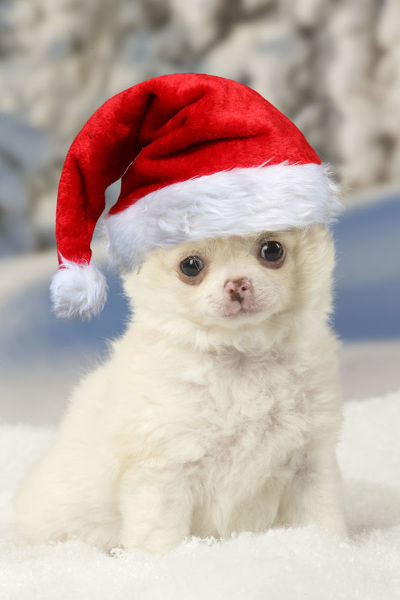 Chihuahua puppy in the winter snow wearing Christmas hat Digital manipulation Date