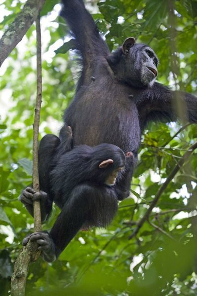 SE-29 Chimpanzee - mother swinging on vines carrying three month old infant tropical forest - Western Uganda - Africa Pan troglodytes Suzi Eszterhas Please note that prints are for personal display purposes only and may not be reproduced in anyway