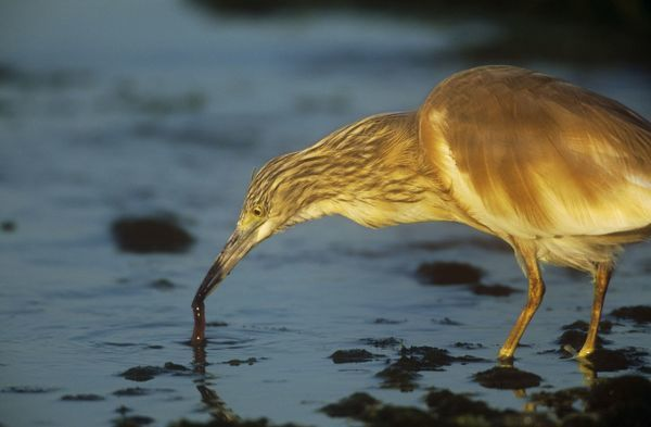 CK-3309 SQUACCO HERON - FEEDING Ardeola ralloides Chris Knights Please note that prints are for personal display purposes only and may not be reproduced in any way